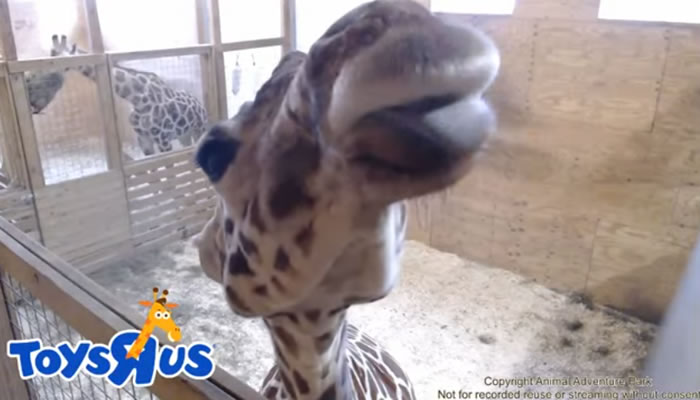 What a Baby Giraffe Teaches Us About Viral Campaigns