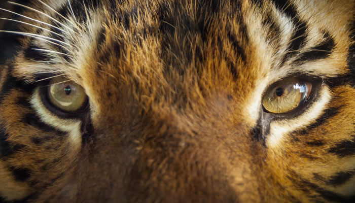 Become a Master of Time Management by Protecting Your Time Like a Tiger!